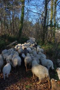 Transhumance dans la Double du côté de Servanche (Dordogne)
