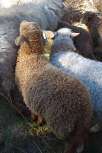 Les agneaux de l'hiver avec leurs belles bouclettes!