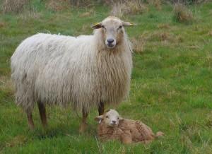mère xaxi Ardia et son petit, mars 2014